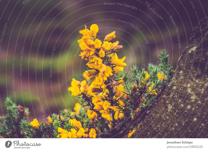 gelber Stechginster am Arthur's Seat in Edinburgh Ferien & Urlaub & Reisen Natur Pflanze Landschaft Blume Umwelt Frühling wandern ästhetisch Sträucher entdecken