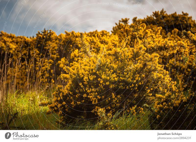gelber Stechginster am Arthur's Seat in Edinburgh Himmel Ferien & Urlaub & Reisen Natur Pflanze Landschaft Blume Umwelt Frühling Wiese Freiheit wandern