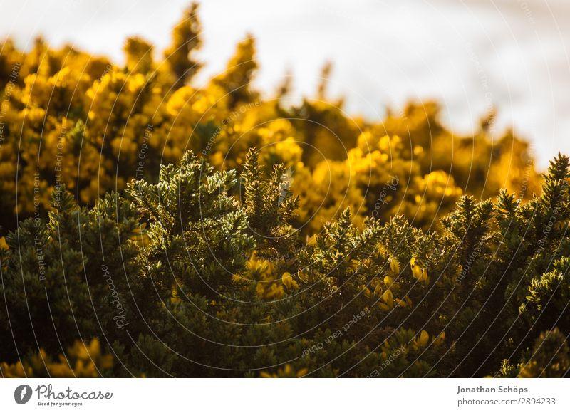 gelber Stechginster am Arthur's Seat in Edinburgh Ferien & Urlaub & Reisen Natur Pflanze Landschaft Blume Umwelt Frühling Tourismus Freiheit wandern ästhetisch