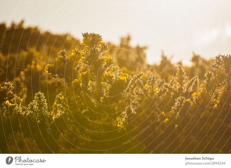 gelber Stechginster am Arthur's Seat in Edinburgh Ferien & Urlaub & Reisen Natur Pflanze Landschaft Blume Umwelt Frühling Freiheit wandern ästhetisch Sträucher