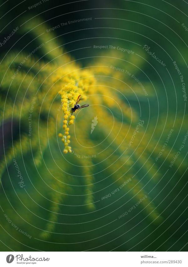 nektarrausch & pollentaumel am gelben buffet Natur grün Sommer Pflanze dunkel Fliege Insekt Wildpflanze Schwebfliege Kanadische Goldrute