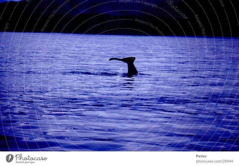 Whalewatching Wasser violett tauchen Wal