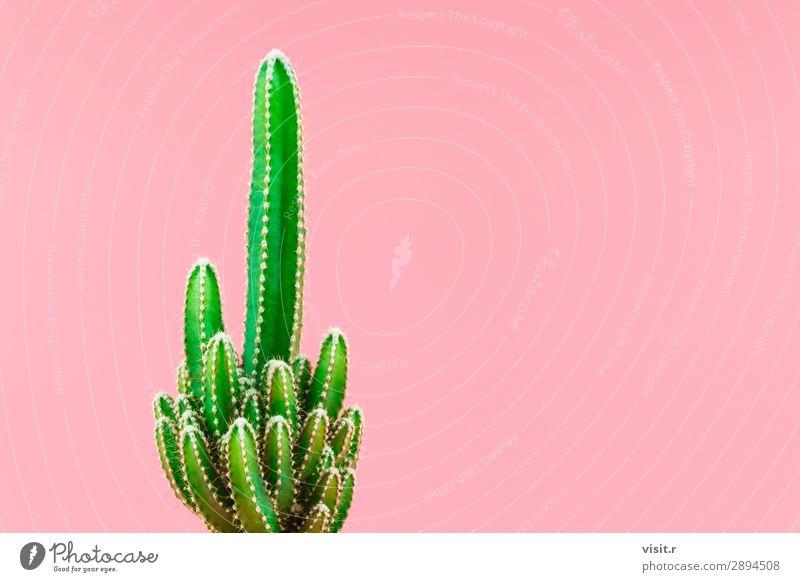 Grüner Kaktus minimaler Stilllebenstil. Innenarchitektur Dekoration & Verzierung Umwelt Natur Pflanze Baum Blüte Topfpflanze exotisch modern grün rosa Erotik
