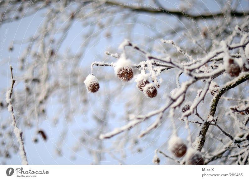 Winter Eis Frost Schnee Baum Sträucher kalt weiß Quaste Platane Ast Farbfoto Außenaufnahme Nahaufnahme Menschenleer Schwache Tiefenschärfe