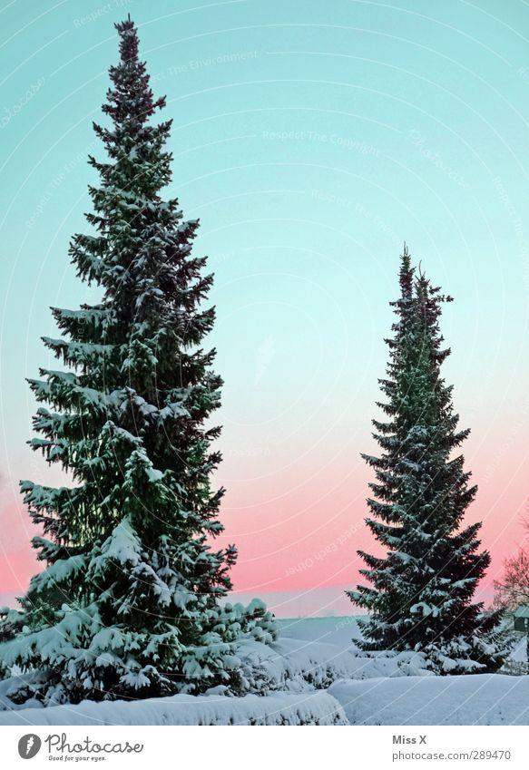 Winter Natur Schönes Wetter Eis Frost Schnee Baum groß kalt weiß Tanne 2 Farbfoto mehrfarbig Außenaufnahme Menschenleer Textfreiraum oben Morgen Morgendämmerung