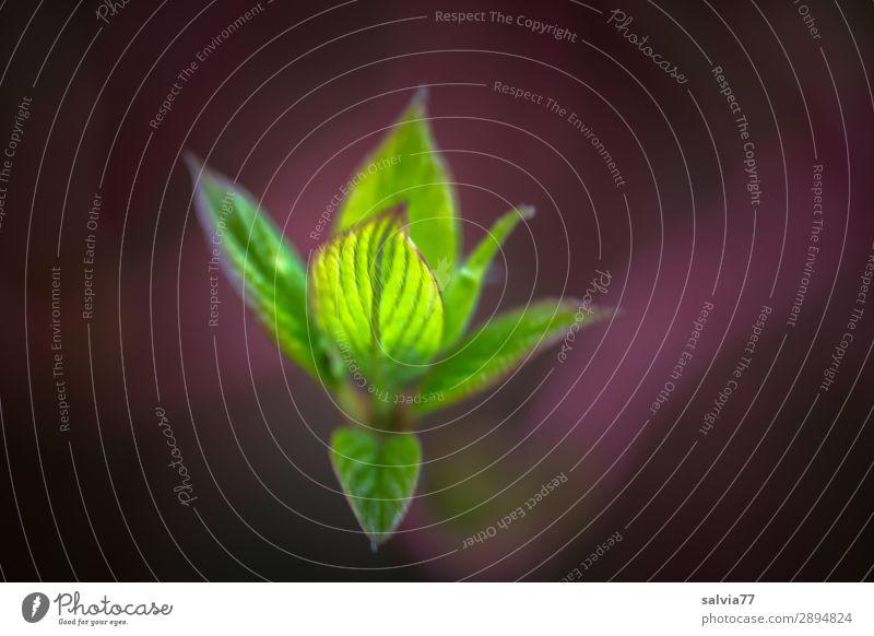 Enfaltung Natur Jugendliche Pflanze grün Blatt Leben Umwelt Frühling Garten Park frisch Wachstum Beginn Sträucher Wandel & Veränderung Zweig