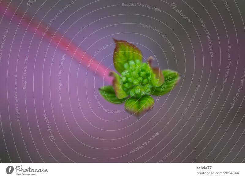 unscharf | Knospe Umwelt Natur Pflanze Frühling Sträucher Blatt Blütenknospen Hartriegel Garten Park Wachstum frisch grün violett Beginn Farbfoto Außenaufnahme