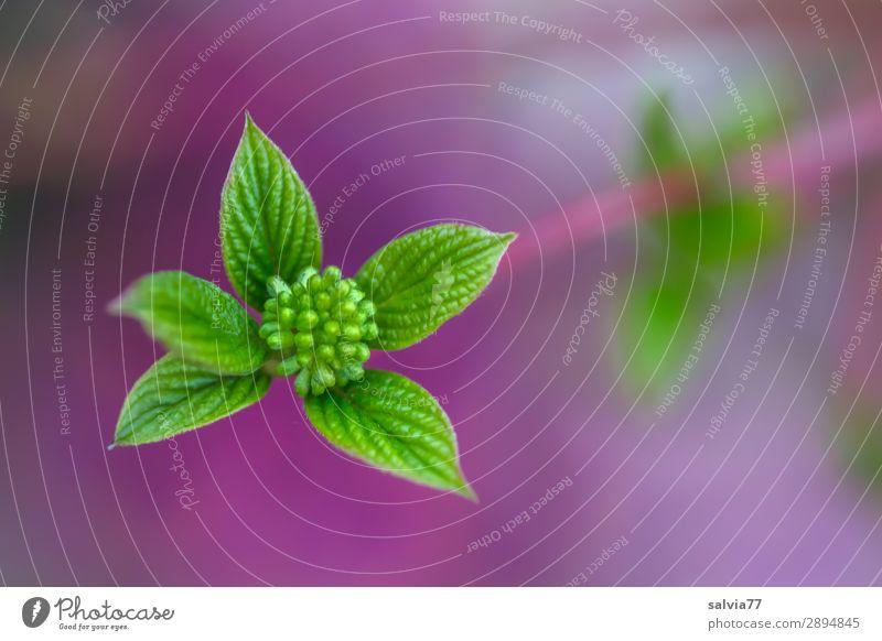 Frühlingszweig Natur Makroaufnahme Nahaufnahme Blütenknospen Roter Hartriegel Zweige u. Äste Blatt hellgrün Kontrast wachsen jung frisch Menschenleer