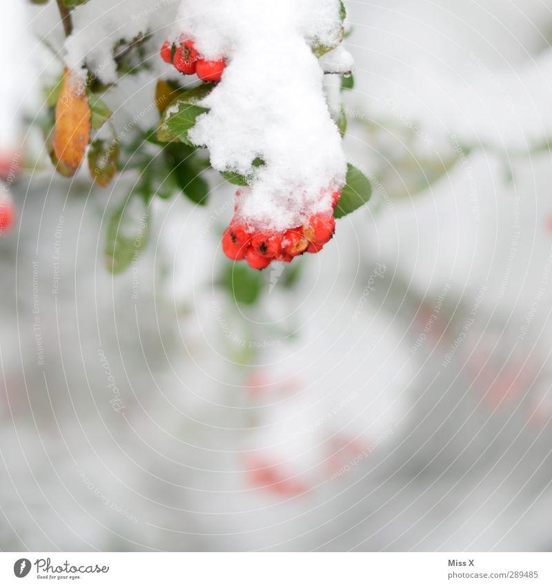 Winter Eis Frost Schnee Pflanze Sträucher kalt rot weiß Beeren Farbfoto mehrfarbig Außenaufnahme Nahaufnahme Menschenleer Textfreiraum unten