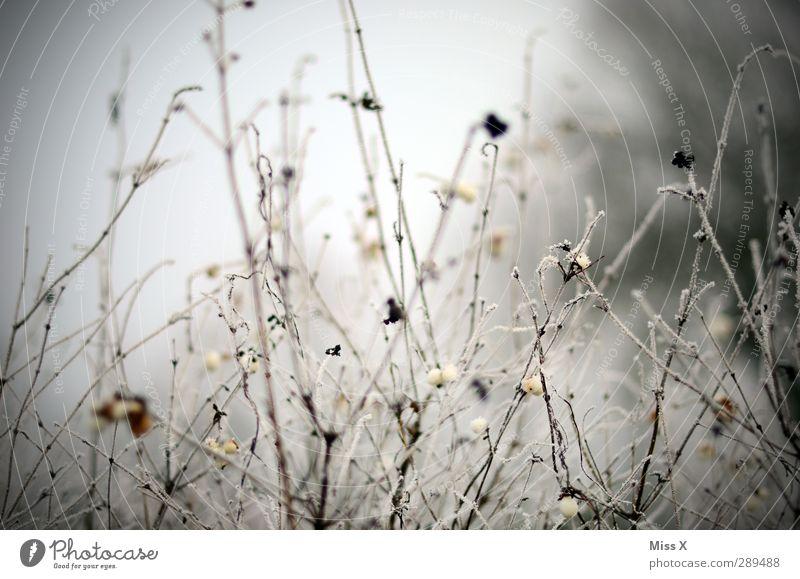 Winter Eis Frost Schnee Pflanze Sträucher kalt trist Beeren Zweig Ast Gedeckte Farben Außenaufnahme Nahaufnahme Menschenleer Schwache Tiefenschärfe