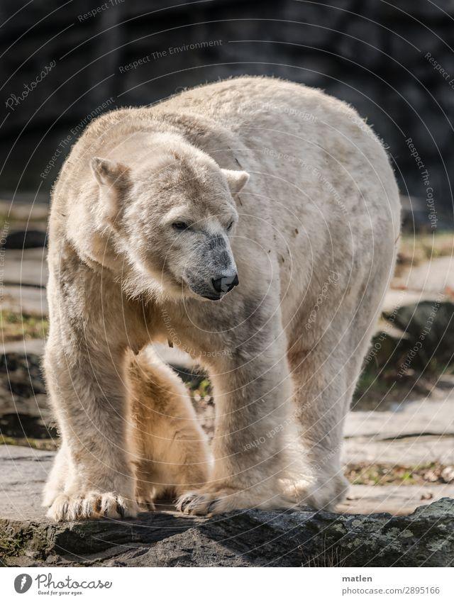 Muttertier weiß Tier Tierjunges grau Baby verstecken Eisbär