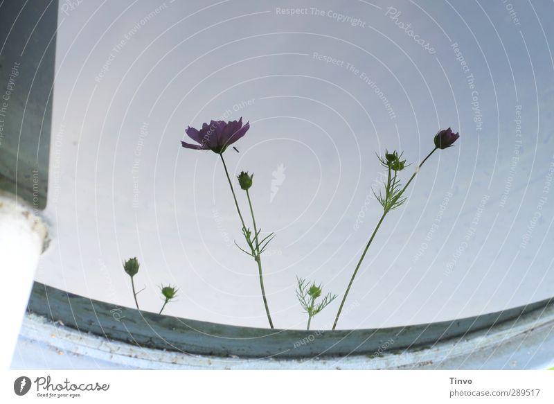 Weltuntergang / ein letztes Blümchenbild blau Sommer Pflanze Blume ruhig grau Blüte zart Wasseroberfläche Anemonen Regentonne