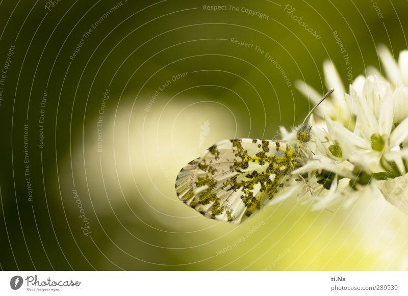 Weltuntergang | verleiht Flügel Frühling Blüte Wildpflanze Bärlauch Garten Wildtier Schmetterling Aurorafalter 1 Tier Blühend Duft Essen Fressen sitzen frei