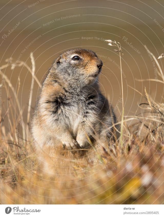 Arktischer Ziesel Natur Landschaft Herbst Schönes Wetter Dürre Gras Tier Wildtier 1 Neugier Nagetiere Alaska Kanada Tierporträt Vorsicht braun Tiefenschärfe