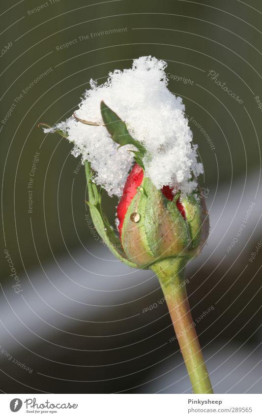 snow rose Pflanze Winter Rose Blüte grün rot weiß kalt Blattknospe Anmut Flocke Puderzucker Pulverschnee Farbfoto Außenaufnahme Detailaufnahme Menschenleer