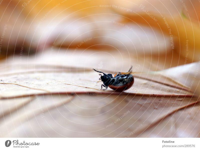 Weltuntergng | ... für einen Käfer Natur Pflanze rot Blatt Tier schwarz Umwelt Herbst klein Beine braun natürlich Insekt