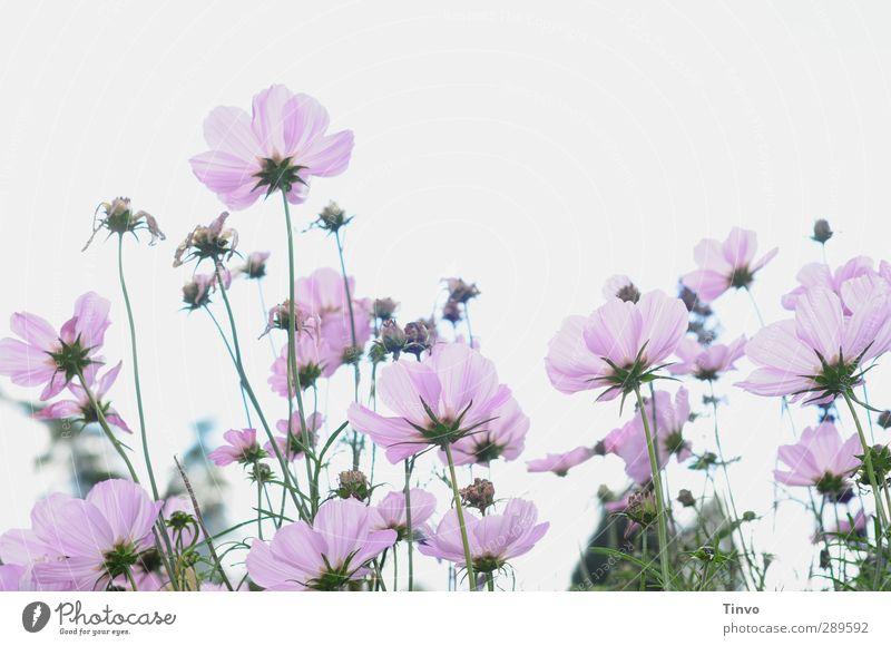 Ach nee, doch nich / kein letztes Blümchenbild grün weiß Sommer Pflanze Blume Blüte rosa mehrere Perspektive viele violett zart Wildpflanze Anemonen