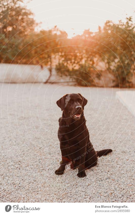 Porträt eines schönen schwarzen Labradors, der den Sonnenuntergang genießt. Glück Gesicht Spielen Sommer Freundschaft Natur Tier Himmel Schönes Wetter Gras