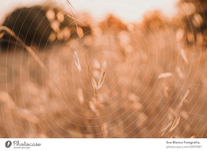 Gelbes Feld, schöne Natur, Sonnenuntergangslandschaft. Ländliche Landschaft Brot Sommer Umwelt Pflanze Erde Wetter Schönes Wetter Wiese Wachstum hell gelb gold