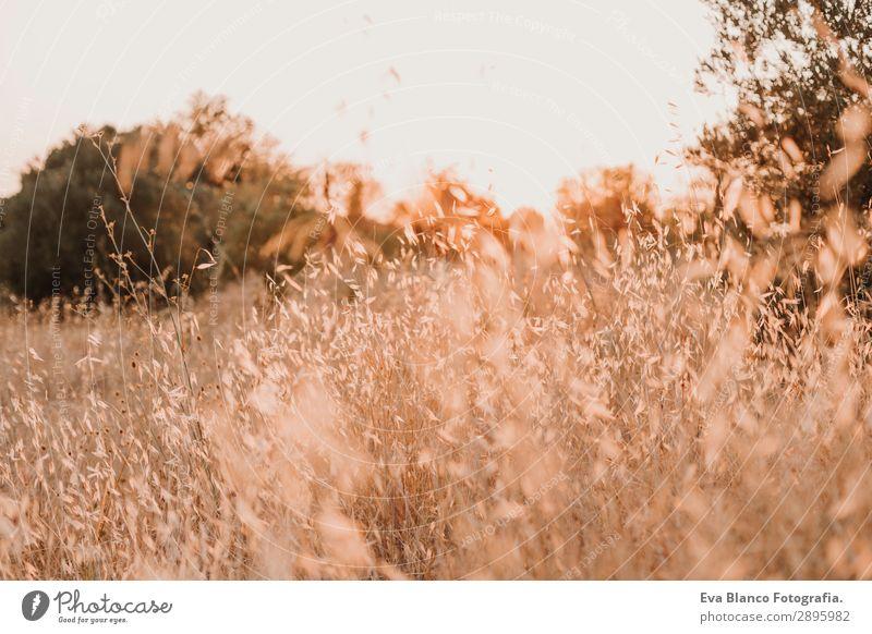 Gelbes Feld, schöne Natur, Sonnenuntergangslandschaft. Ländliche Landschaft Brot Sommer Umwelt Pflanze Erde Horizont Wetter Wiese Wachstum hell gelb gold