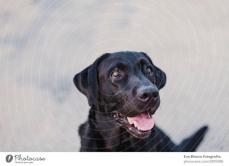 Porträt eines schönen schwarzen Labradors im Freien Lifestyle elegant Freude Glück Spielen Sommer Freundschaft Erwachsene Tier Haustier Hund 1 beobachten