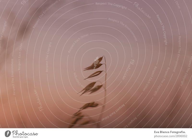Nahaufnahme Gelbes Feld. Natur Sonnenuntergang Landschaft Brot schön Sommer Umwelt Pflanze Wetter Wiese Wachstum hell gelb gold Entwurf Licht Samen Müsli Korn