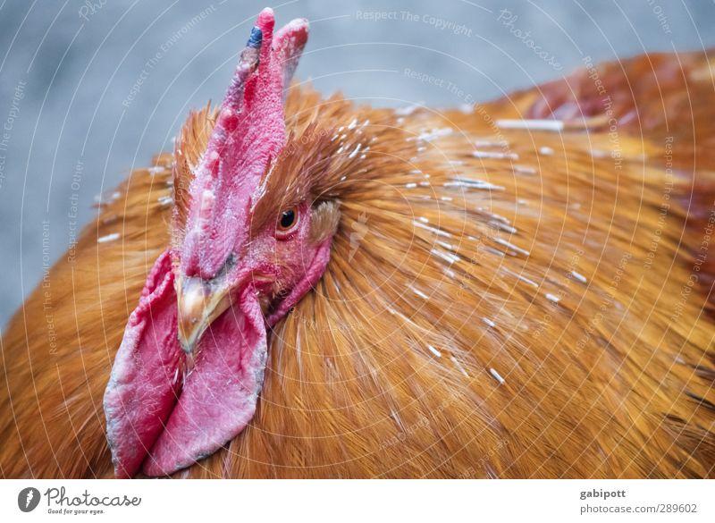 Ach nee, doch nicht | da lachen ja die Hühner Tier Haustier Nutztier Vogel Tiergesicht 1 nachhaltig natürlich braun rot Glück Lebensfreude Kraft Tierliebe