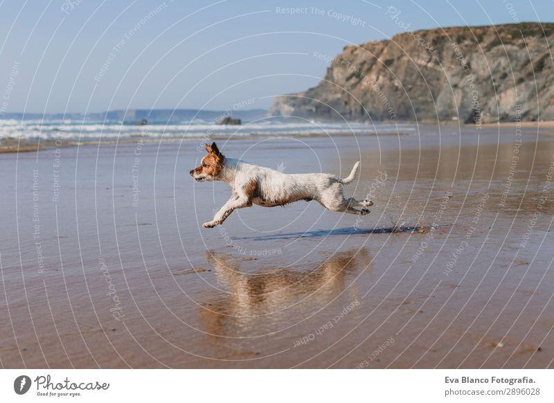 wunderschöner kleiner Hund läuft am Meeresufer entlang Lifestyle Freude Glück Erholung Spielen Jagd Ferien & Urlaub & Reisen Sommer Sonne Strand Freundschaft