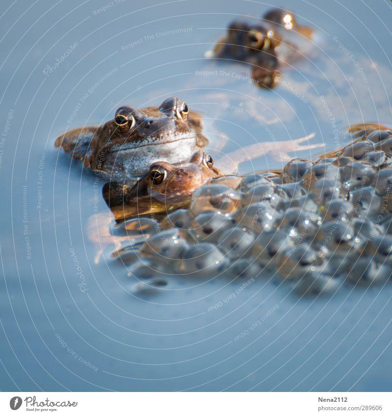 Ach nee, doch nicht | und das Leben geht weiter... Natur Wasser Tier Umwelt Liebe Traurigkeit See Schwimmen & Baden Tierpaar Sex Wildtier Tiergruppe Tiergesicht Frosch Teich Froschlurche