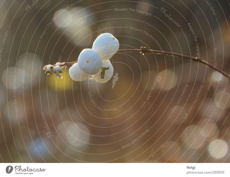 ach nee,doch nicht | Leben geht weiter... Umwelt Natur Pflanze Winter Schönes Wetter Sträucher Blatt Fruchtstand Zweig Garten Lichtpunkt hängen Wachstum