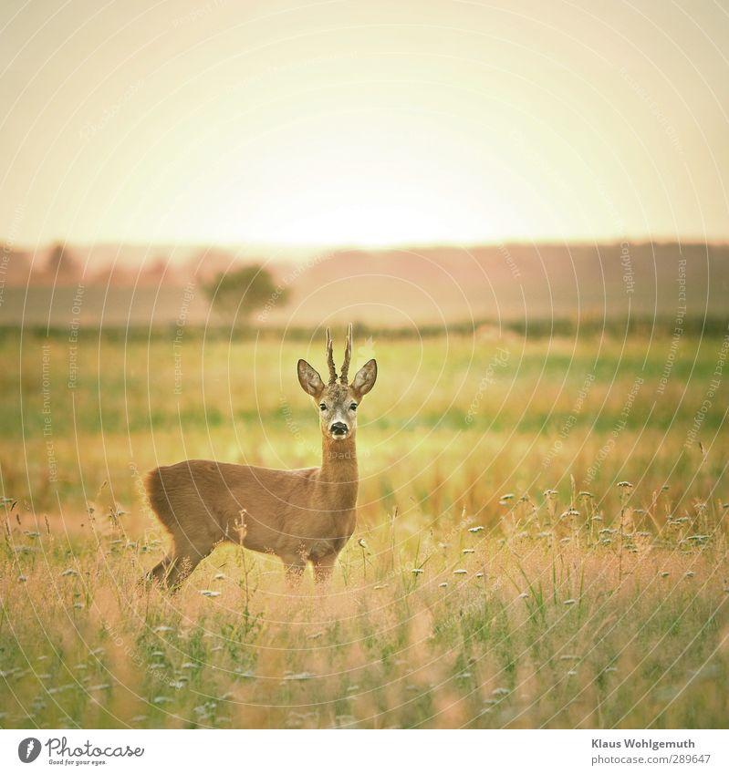 """""""Es ist ein Reh entsprungen"""" Natur grün Sommer Tier gelb Wiese Gras braun Wildtier Fell"""
