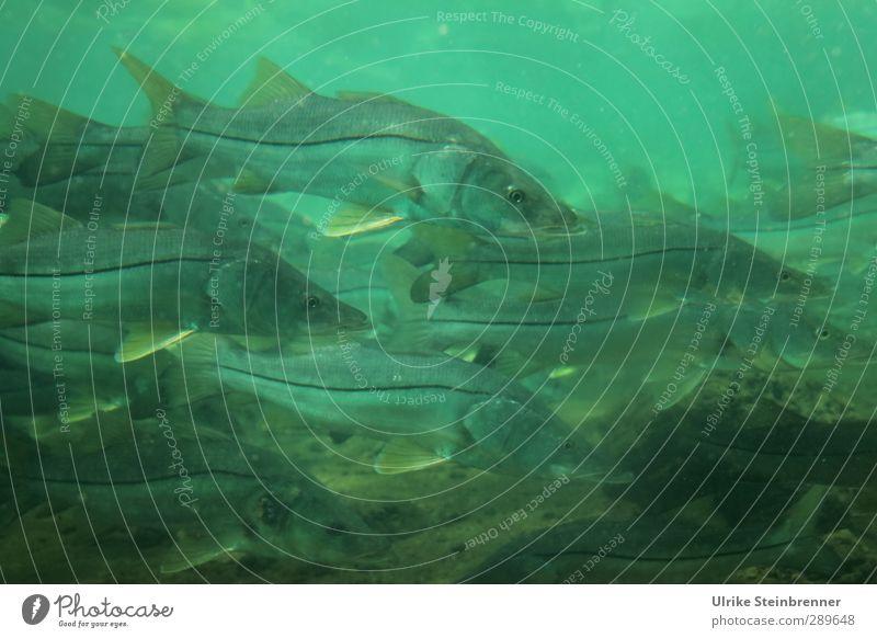 Crowd of Common Snook Natur grün Wasser Tier Umwelt Bewegung Frühling Schwimmen & Baden Lebensmittel Wildtier nass Ernährung Tiergruppe Fisch Fluss viele