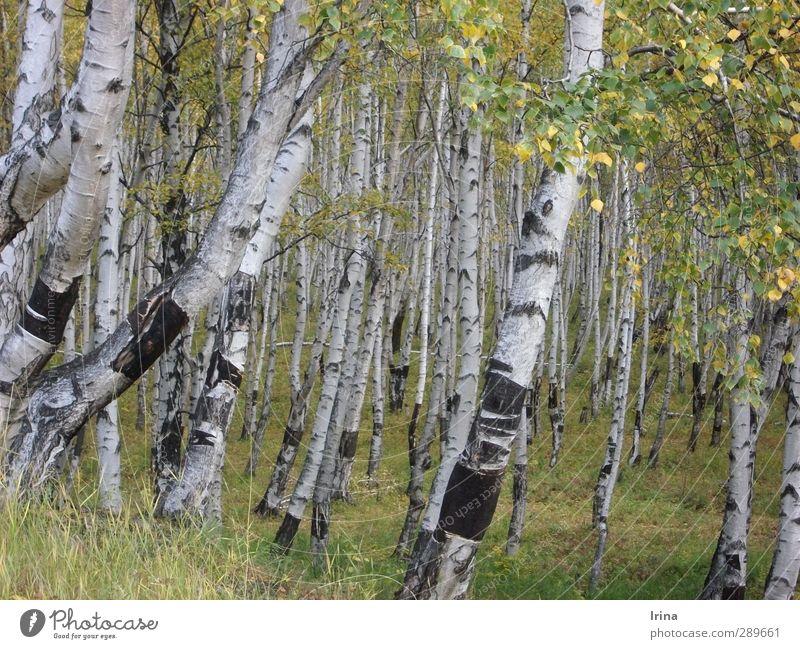 Russland | Beresa Natur Pflanze Baum Birke Wald Birkenwald grün weiß Baumrinde Herbst Herbstbeginn Farbfoto Gedeckte Farben Außenaufnahme Menschenleer