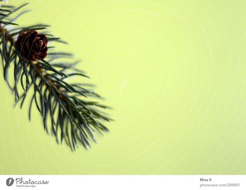 Tannenzweig Blatt grün Zapfen Tannennadel Farbfoto Nahaufnahme Menschenleer Textfreiraum rechts Hintergrund neutral Schwache Tiefenschärfe