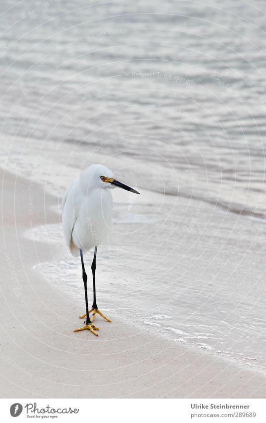 Weiß-heit I Umwelt Natur Tier Sand Wasser Frühling schlechtes Wetter Wellen Meer Atlantik Wildtier Vogel Seidenreiher Schreitvogel Reiher 1 beobachten Jagd