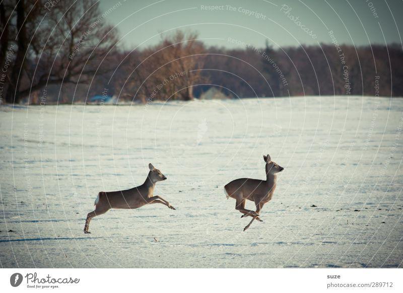 Für Eile fehlt mir die Zeit Jagd Winter Umwelt Natur Landschaft Tier Himmel Horizont Schnee Baum Feld Wald Wildtier 2 Tierpaar rennen Bewegung springen kalt