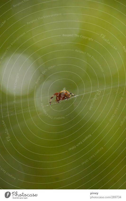 Netz Natur Tier Sommer Wald Spinne Vorfreude Angst Spinnennetz Farbfoto Außenaufnahme Detailaufnahme Makroaufnahme Menschenleer Textfreiraum Mitte