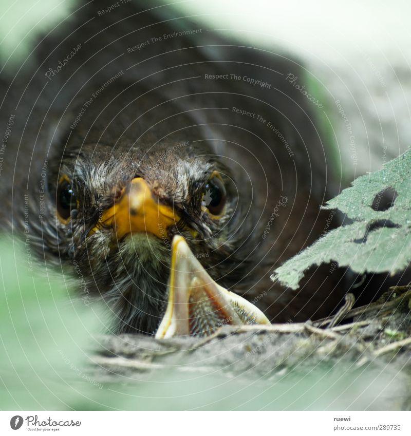 Angry bird Natur grün Sommer Tier gelb Umwelt Tierjunges Frühling grau Holz Garten Vogel Wildtier beobachten Sicherheit Tiergesicht