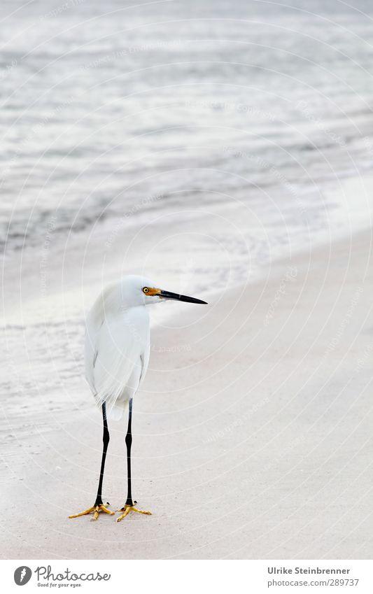Weiß-heit II Natur Wasser weiß Meer Tier Umwelt Frühling Sand Vogel Wellen Wildtier elegant stehen beobachten Neugier Metallfeder