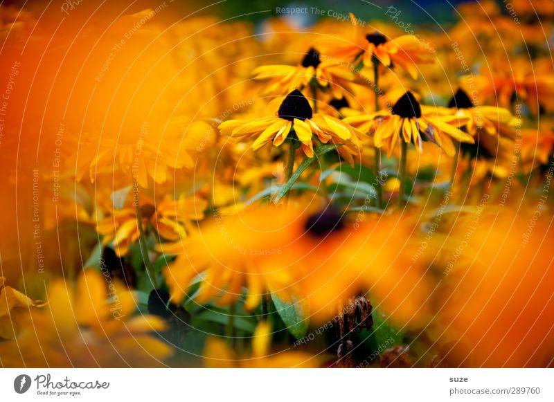 und dann gibt's wieder Diskussionen   Sommerbild im Winter schön Sommer Pflanze Blume gelb Blüte orange Wachstum Freundlichkeit Blühend Lebensfreude Duft Blütenblatt sommerlich Korbblütengewächs Sonnenhut