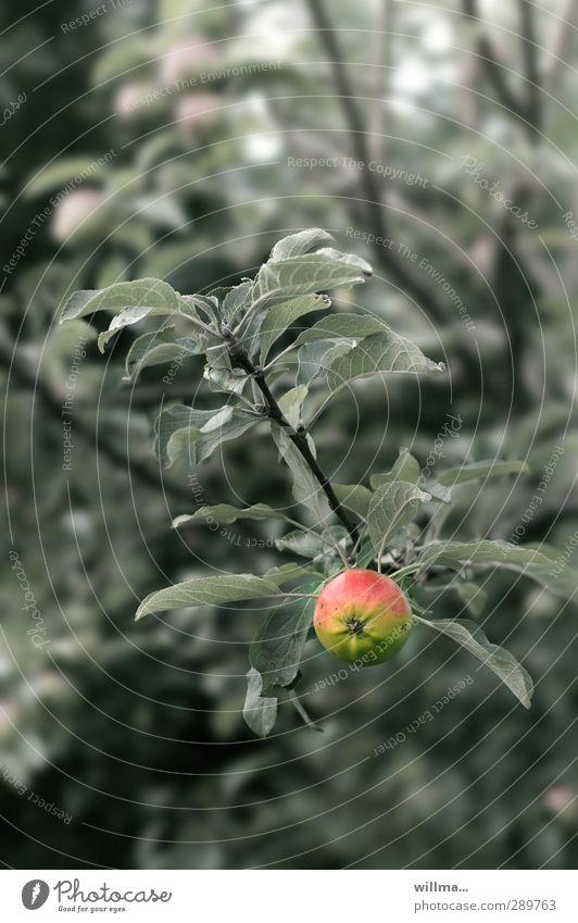 Die Schuldfrage. Ein Apfel hängt am Apfelbaum, man glaubt es kaum. Baum Blatt frisch Gesundheit Obst gesunde Ernährung Bioprodukte natürlich