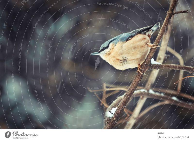 und dann gibt's wieder Diskussionen | Flieg ich oder nicht? Natur Tier Winter Umwelt klein natürlich Vogel wild Wildtier niedlich Ast Zweig tierisch heimatlich