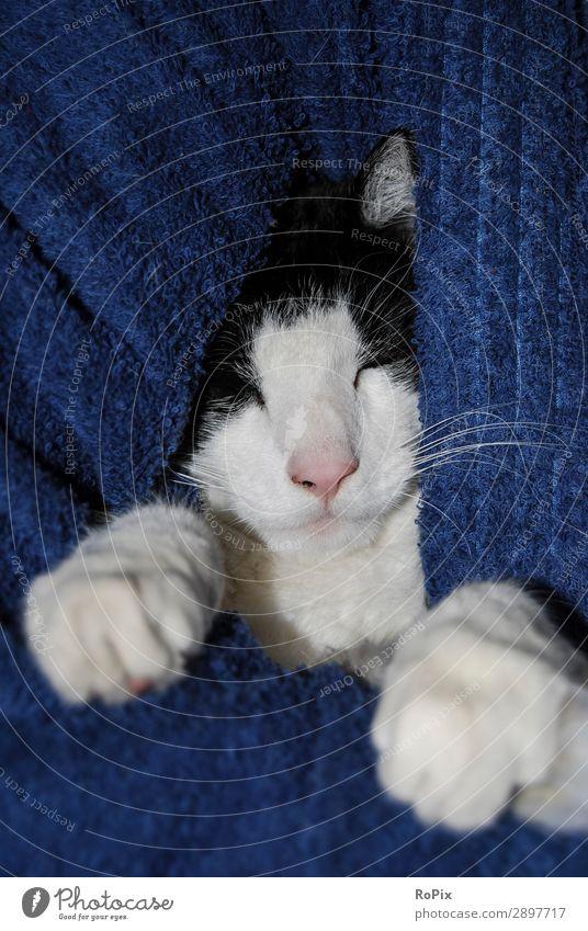 Schlafendes Katerchen Katze blau schön Erholung Tier ruhig Liebe Glück Haare & Frisuren Zufriedenheit elegant ästhetisch niedlich schlafen Schutz Sicherheit