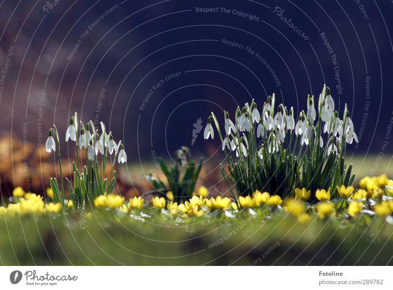 Und dann gibts wieder Diskussion | ob wir zu früh blühen Natur grün schön weiß Pflanze Blume gelb Umwelt Frühling Blüte Garten hell natürlich Park nah Schneeglöckchen