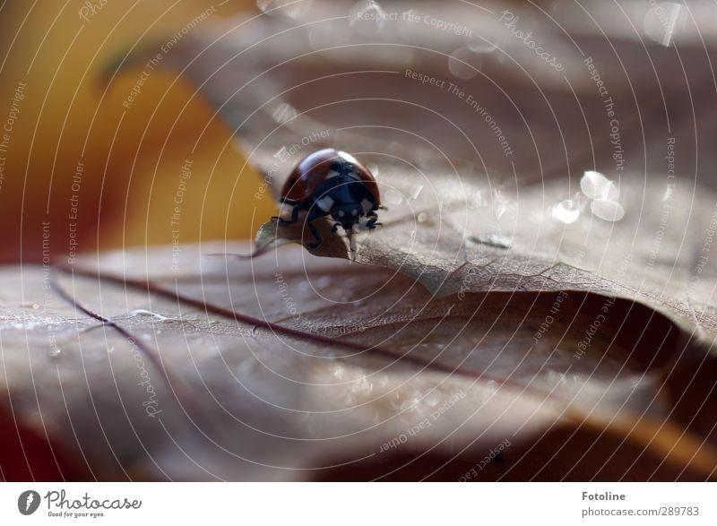 Überfluß | an Marienkäfern... Umwelt Natur Pflanze Tier Urelemente Wasser Wassertropfen Herbst Blatt Käfer 1 hell nah nass natürlich braun rot schwarz Insekt