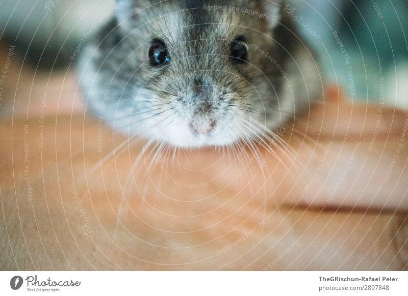 Hamster Tier Haustier 1 gelb grau schwarz silber niedlich Nagetiere Nase Auge Hand stoppen Streicheln Innenaufnahme Menschenleer Tag Tierporträt