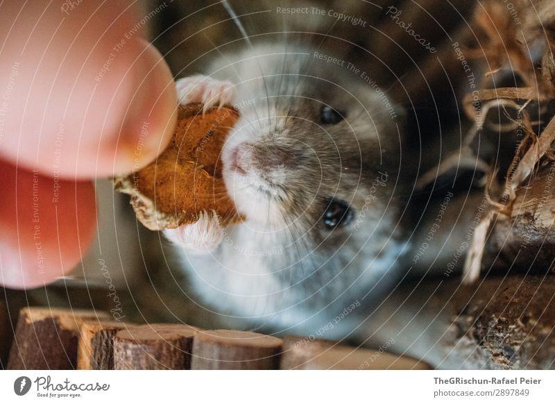 Hamster Tier Haustier 1 braun grau schwarz silber füttern Nagetiere Appetit & Hunger Hand Lebewesen niedlich Farbfoto Menschenleer Tierporträt