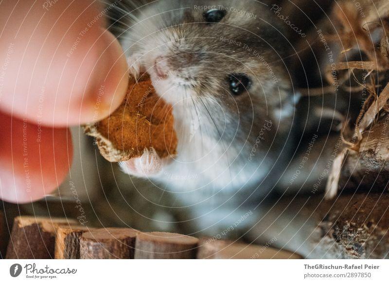 Hamster Tier Haustier 1 grau schwarz silber Nagetiere Essen Fuß Auge Hand stoppen Appetit & Hunger niedlich Streicheln Farbfoto Menschenleer Unschärfe