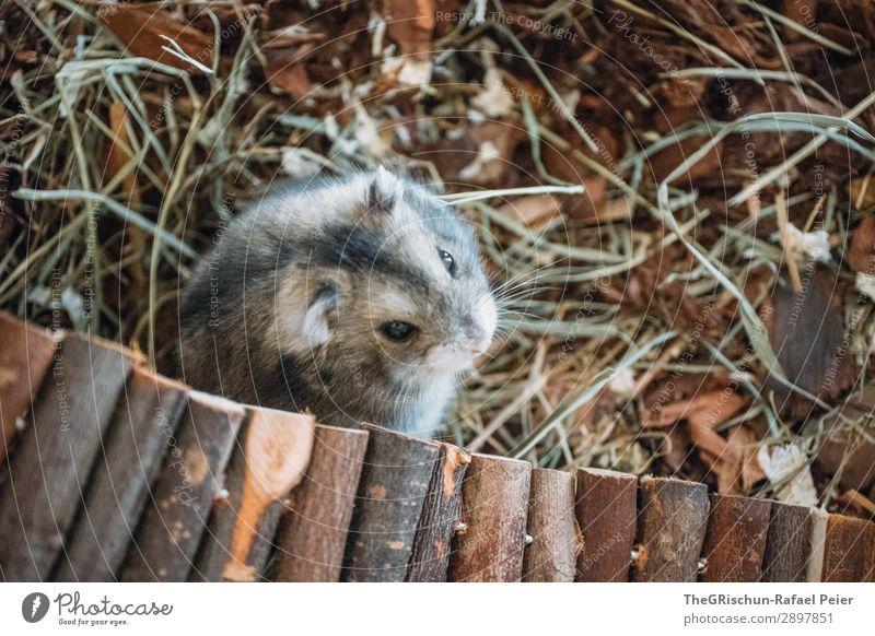 Hamster Tier Haustier 1 braun grau schwarz silber Spielplatz Nagetiere Steg Terrarium Auge niedlich Streicheln Farbfoto Innenaufnahme Menschenleer