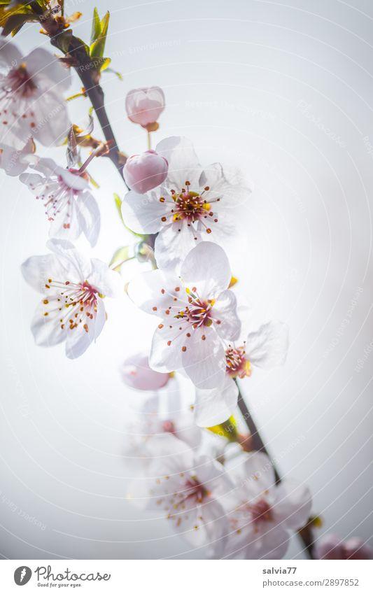 Blütenweiß Umwelt Natur Pflanze Frühling Baum Zweig Kirschblüten Garten Park Blühend Duft Frühlingsgefühle Leichtigkeit Farbfoto Außenaufnahme Nahaufnahme